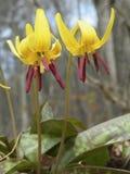 Dogtooth violet (Erythronium americanum) Royalty Free Stock Photo
