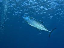 dogtoothjättetonfisk royaltyfri fotografi