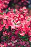 Dogtree flowers Stock Photos