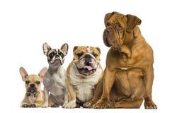 Dogue de Μπορντώ και μπουλντόγκ που κάθονται και που βρίσκονται στοκ εικόνες