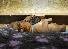 Dogue de Μπορντώ - κουτάβια - ηλικία 11 ημέρες Στοκ Εικόνες