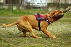 Dogue de Бордо - французский Mastiff Стоковая Фотография