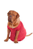 Dogue De Bodeaux with red romantic dress Royalty Free Stock Images