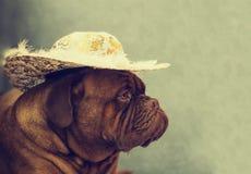 Dogue de Bordéus Imagem de Stock Royalty Free