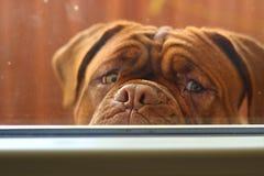 Dogue de Bordéus Filhote de cachorro Foto de Stock Royalty Free