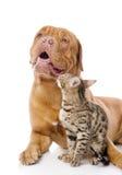 Dogue de Bordeaux和孟加拉猫 库存照片