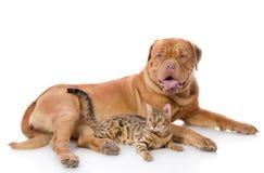 Dogue de Bordeaux和孟加拉猫 免版税库存图片