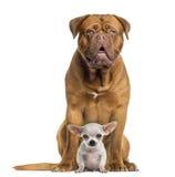 dogue de Bordeaux和小奇瓦瓦狗开会,面对,被隔绝 免版税库存图片