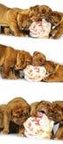 Dogue de Bordeaux小狗和一根大骨头,生肉 免版税库存照片