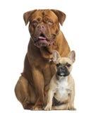 dogue de Bordeaux气喘和法国牛头犬小狗开会 免版税库存照片
