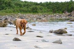 dogue De Bordeaux走沿海滩的, Bodoe,挪威 免版税库存照片