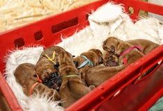 Dogue DE Bordeaux - Één dag oude puppy Stock Afbeelding