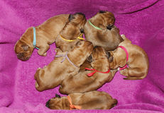 Dogue DE Bordeaux - Één dag oude puppy Royalty-vrije Stock Afbeelding