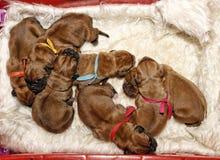 Dogue DE Bordeaux - Één dag oude puppy Royalty-vrije Stock Foto