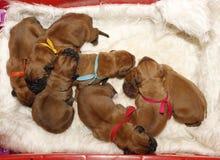Dogue DE Bordeaux - Één dag oude puppy Royalty-vrije Stock Fotografie