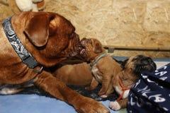 Dogue de Bordeaux -小狗和他的妈妈 库存图片