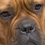Dogue de Bordeaux (1 year) Royalty Free Stock Photography