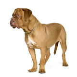 Dogue de Bordeaux (10 mois) Photo libre de droits
