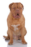 Dogue de Bordeaux Immagine Stock
