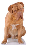 Dogue de Bordeaux Royalty Free Stock Photography