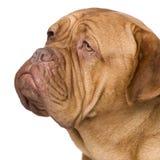 Dogue de Bordeaux (2 anni) Fotografie Stock