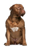 Dogue de bordeaux, 2 and a half years old Royalty Free Stock Images