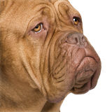 Dogue de Bordeaux (2 years) Stock Photography