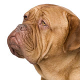 Dogue de Bordeaux (2 years) Stock Photos