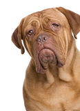 Dogue de Bordeaux (2 years) Royalty Free Stock Images