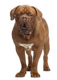 Dogue de Bordeaux, 20 months old, standing Stock Photography