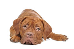 Dogue de Bordeaux Stock Photo