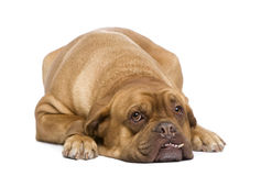 Dogue de Bordeaux (3 years) Royalty Free Stock Photo