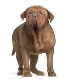 Dogue de Bordeaux, 4 années, restant Image stock