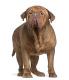 Dogue de Bordeaux, 4 years old, standing Stock Image