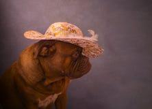 Dogue de Bordeaux Photographie stock