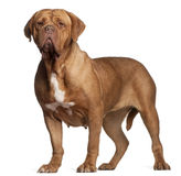 Dogue de Bordeaux, 7 years old, standing Stock Photography