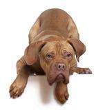 Dogue de Bordeaux, 8 months old Stock Photo