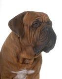 Dogue de Bordeaux Images libres de droits