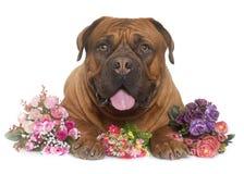 Dogue de Bordeaux Photographie stock libre de droits