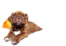 Dogue de Bordeaux Photo stock