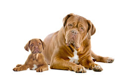 Dogue De Bordeaux Adult And Puppy Royalty Free Stock Photography