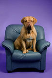 Dogue De Bordeaux on the armchair Stock Photo
