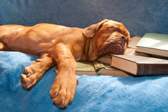 Dogue de bordeaux asleep Royalty Free Stock Images