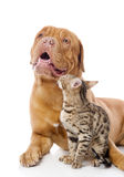 Dogue de Bordeaux and Bengal cat Stock Photos