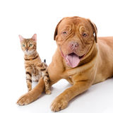Dogue de Bordeaux and Bengal cat Royalty Free Stock Photos