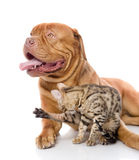 Dogue de Bordeaux and Bengal cat Stock Images
