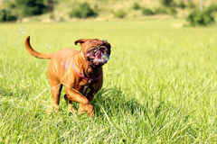 Dogue de Bordeaux and bubble blower Royalty Free Stock Images