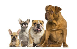 Dogue de Bordeaux and Bulldogs sitting and lying Stock Photo
