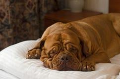 Dogue De Bordeaux che dorme nel letto Immagine Stock