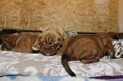 Dogue de Bordeaux - chiots Photos libres de droits